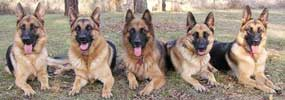 Kassaar German Shepherds